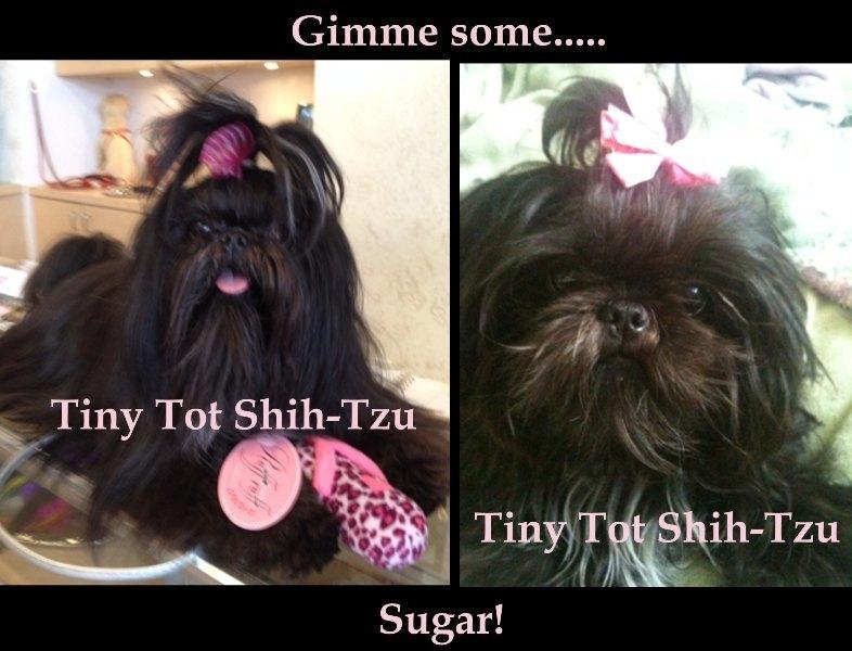 Tiny Tot Shih Tzu Black Imperial Shih Tzu Sugar