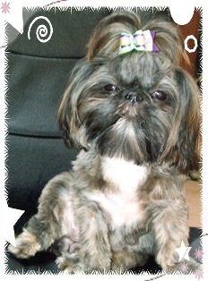 Tiny Tot Shih Tzu Imperial Shih Tzu Retired Mom LIla