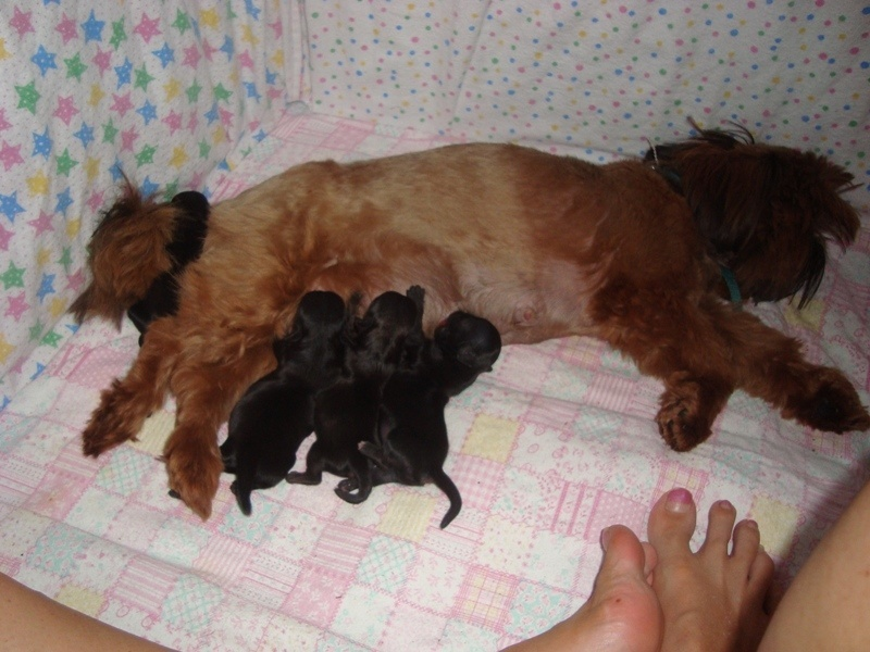 Tiny Tot Shih Tzu Stunning Red Shih Tzu with Imperial Shih Tzu puppies