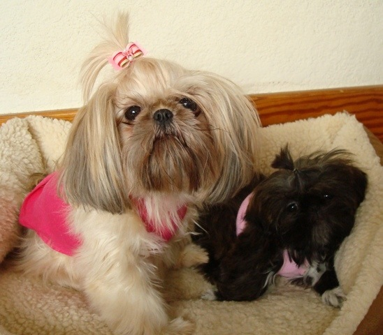 Tiny Tot Shih Tzu Zoey and Gemma