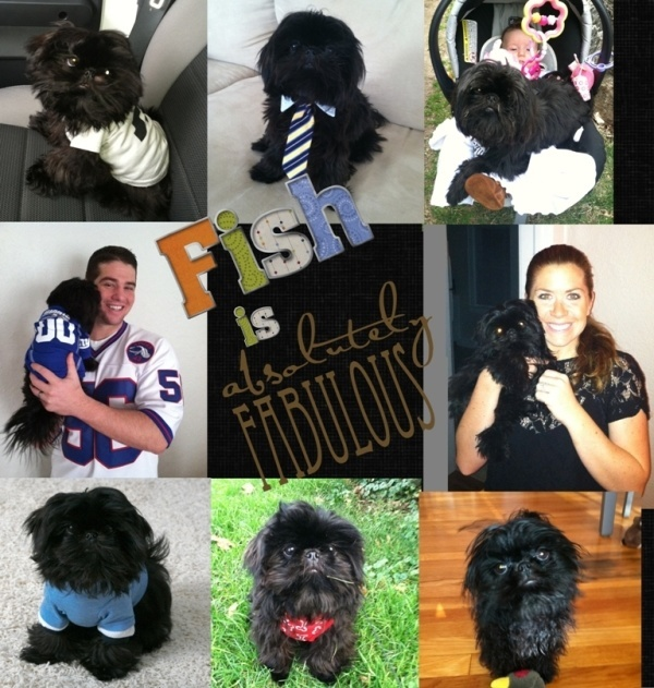 Tiny Tot Shih Tzu Black Imperial Shih Tzu Fish