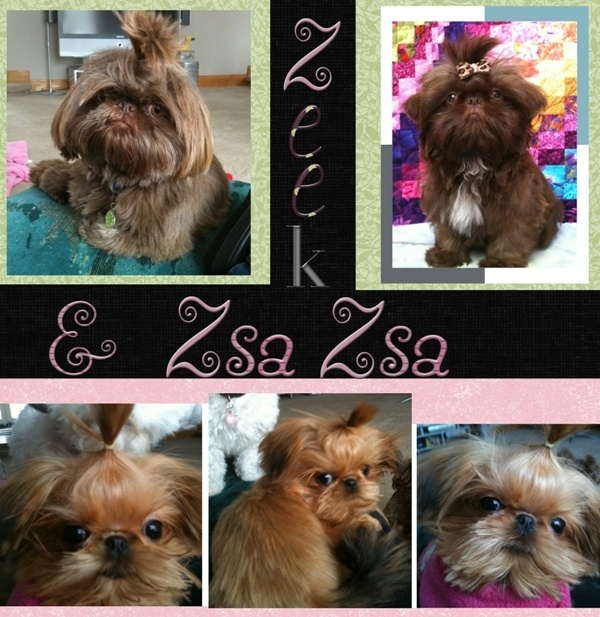 Tiny Tot Shih Tzu Zeek and Zsa Zsa Reference from Debbie
